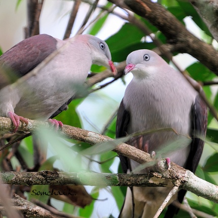 mountain imperial pigeons